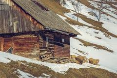 木房子和绵羊 库存照片