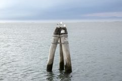 木投石器落空在途中的海从基奥贾向威尼斯,在巢,意大利的两只海鸥 免版税图库摄影
