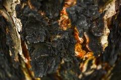 木抽象背景的纹理 在冷杉烧焦的树皮 免版税库存照片