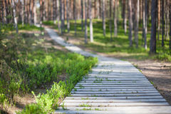 木木板走道在有发光通过树的阳光的一个杉木森林里 免版税库存图片