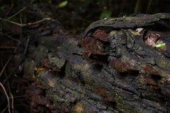 木材和棕色蘑菇在热带雨林与丰富 免版税图库摄影