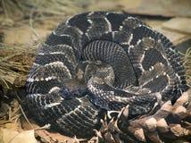 木材响尾蛇 免版税图库摄影