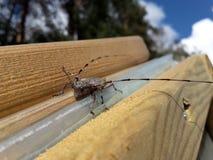 木材甲虫 免版税库存图片