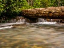 木材,巨型雪松的Watchout 库存照片