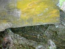 木板和分支背景,长满与青苔和地衣 免版税库存图片