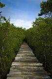 木板走道到美洲红树森林里 库存照片