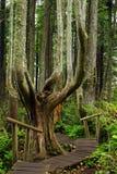 木板走道和雨林在海角奉承,华盛顿 图库摄影