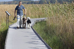 木板走道的狗步行者 库存照片