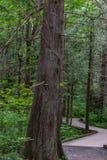 木板走道通过一个密集的杉木森林 免版税库存照片