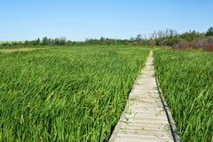 木板走道通过夏天沼泽 免版税库存图片