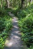木板走道通过绿色蕨隐蔽的森林 免版税库存照片