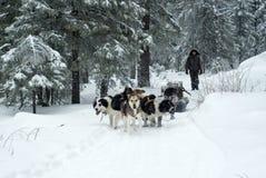 木柴的运输由狗雪撬的 免版税库存照片