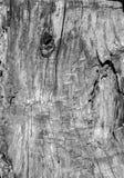 木树桩纹理吠声 库存图片