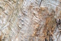 木树桩背景 砍的树的纹理 免版税库存图片