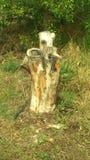 木树桩 库存图片