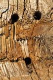 木树身体吠声 免版税库存图片