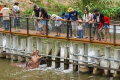 木桥哺养的食物的游人对河马 免版税库存图片