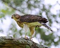 木桶匠的鹰在它的牺牲者用餐 免版税图库摄影