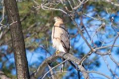木桶匠的鹰在它的牺牲者用餐 库存照片