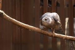 木桶匠` s鹰在分支栖息 库存图片
