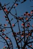木棉树分支 免版税图库摄影