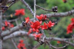 木棉树木棉花在庭院里 图库摄影