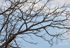 木棉树棚子叶子在庭院里 库存图片