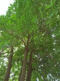 木棉树植物; 家庭:MALVECEAE 免版税库存照片