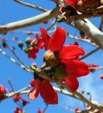 木棉树 库存图片