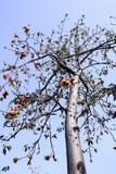 木棉树 免版税库存照片