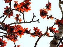 木棉树insigne墙壁背景墙纸 库存照片
