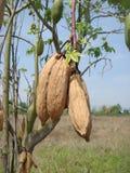 木棉科植物落叶 库存照片