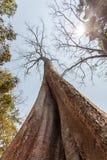 木棉词根(Tetrameles nudiflora), Ta Prohm寺庙,吴哥城,暹粒,柬埔寨 免版税库存图片