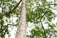 木棉Speciosa或者丝绸绣花丝绒树,与bott的一棵亚热带树 库存照片