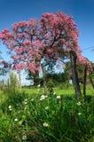 木棉speciosa用花装饰的树 免版税图库摄影