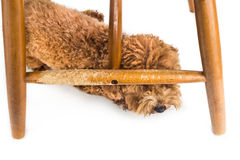 木椅子由淘气狗嚼和叮咬非常损坏了 库存照片