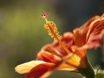 木槿花 库存图片