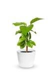 年轻木槿一棵盆的植物被隔绝在白色 免版税图库摄影
