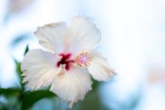 木槿上升在绿色的sinensis紫色木槿的明亮的桃红色大花离开自然本底 Karkade热带庭院 库存图片