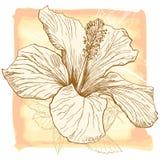 木槿向量水彩 免版税库存照片
