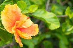 木槿在庭院里 图库摄影