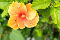 木槿在庭院里 免版税库存图片