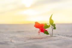 木槿在沙漠单独开花 免版税库存图片