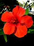 木槿开花在红色关闭的开花美好的背景 免版税库存图片