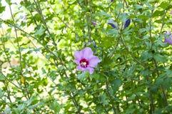 木槿木槿在绿色背景的罗莎sinensis明亮的紫罗兰色花  热带地区的Karkade当地人 夏威夷狂放的v 库存图片