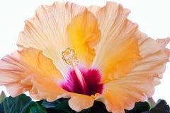 木槿橙色白色 免版税库存图片