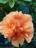 木槿橙色花和叶子 库存图片