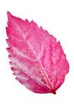 木槿的桃红色叶子 免版税库存照片