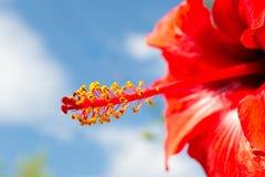 木槿的雄芯花蕊和雌蕊 免版税库存图片