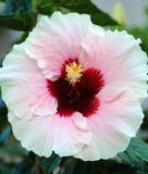 木槿粉红色 库存图片